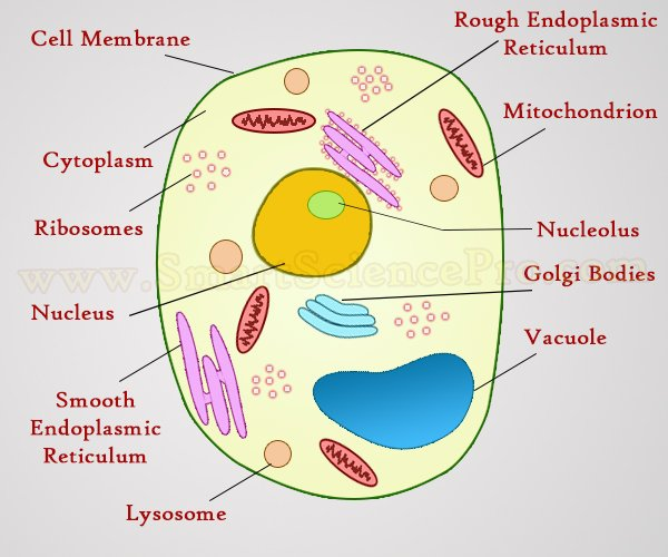 Structure of animal cell and plant cell under microscope diagrams generalized structure of animal cell under light microscope ccuart Images