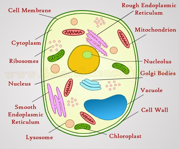 Structure Of Animal Cell And Plant Cell Under Microscope Diagrams