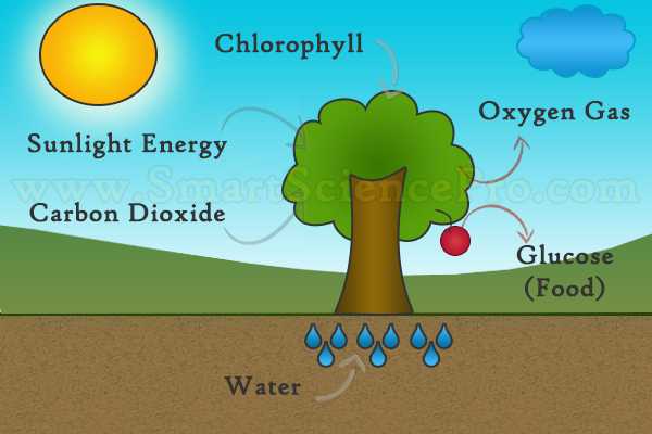 Photosynthesis Process Flow