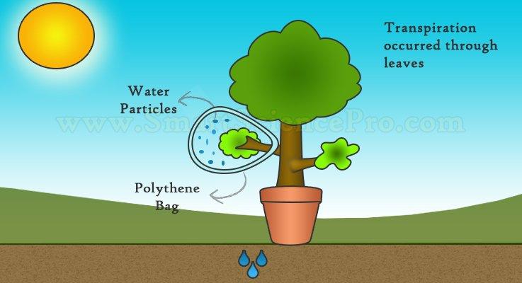 Transpiration, Interesting Mechanism of Plants